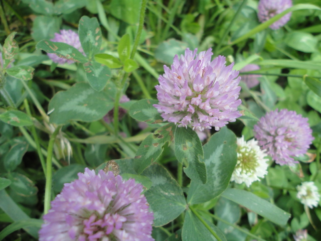 What Do You Use Clover For Just Another Day On The Farm