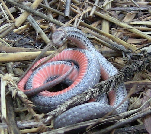 Red Bellied Snake Ontario Red Belly Snake o so Excited a