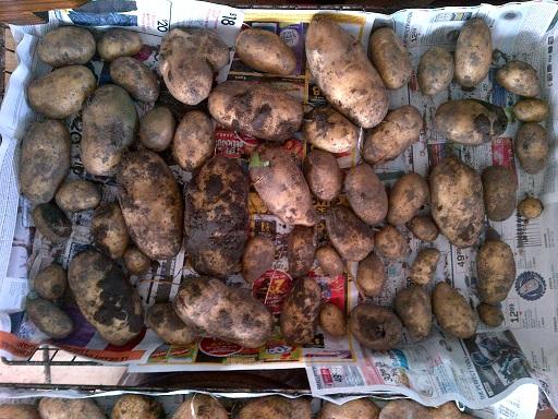 potato - Sieglinde