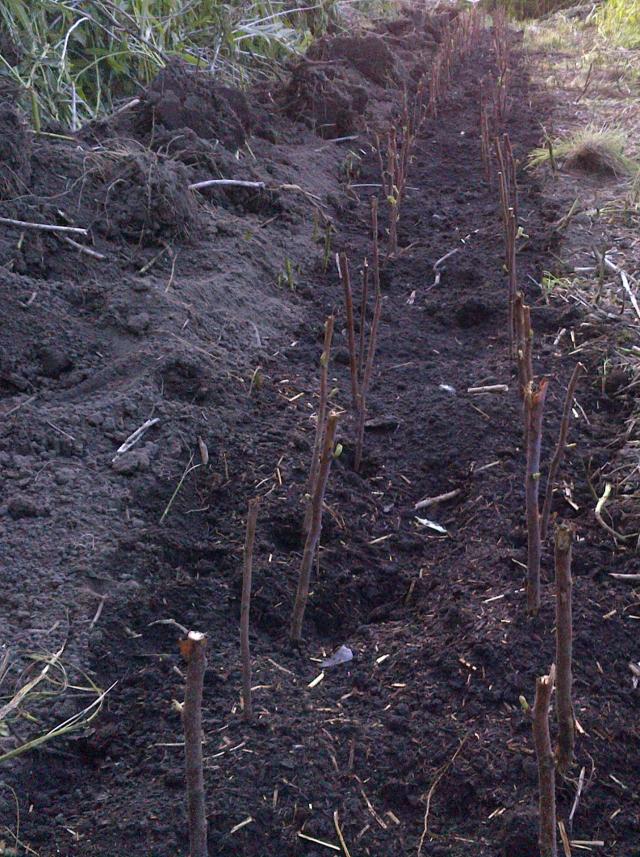 rasberry canes