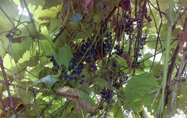 Grapes gone wild in the food forest