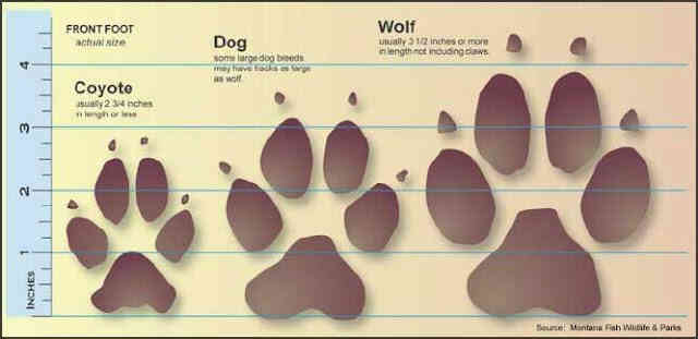 Tracks in the snow just another day on the farm wolf coyote20 20track20comparison publicscrutiny Choice Image