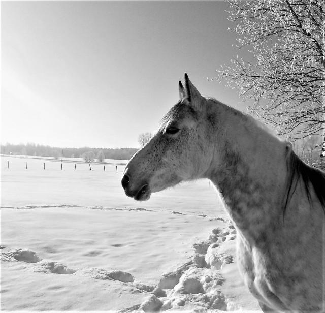 dapple grey horse winter scene photo farmgal