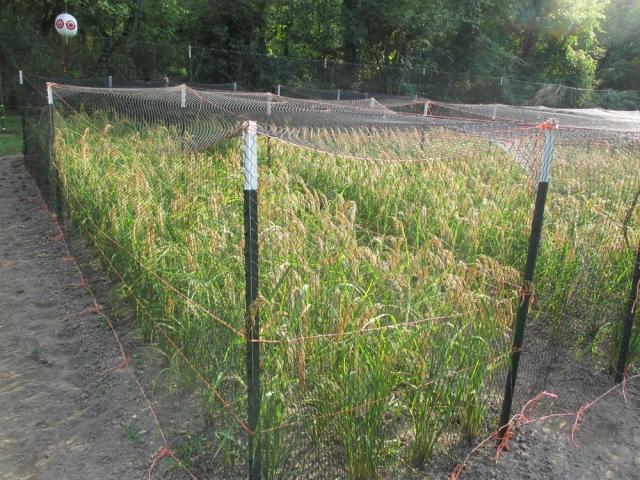 rice-bird-netting-4-1000-by-750