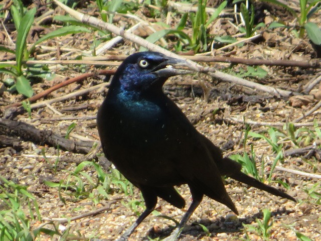 grackle male