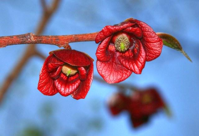 pawpaw flowers