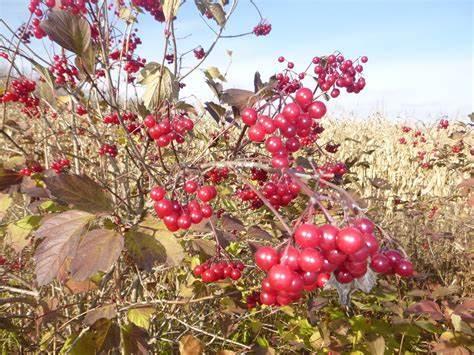 farmgalshighbushcranberries