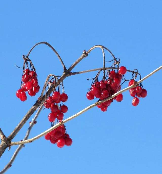 winterhighbushcrenberryfruit