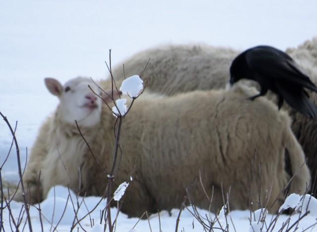 Raven on sheeps back