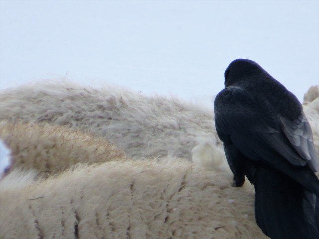Raven collecting wool directly from the sheep