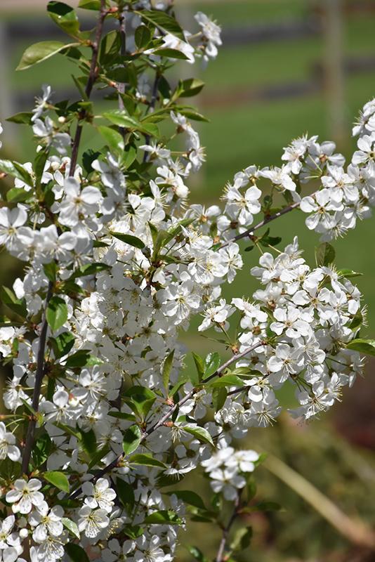Juilet cherry flowers April 24th 2021
